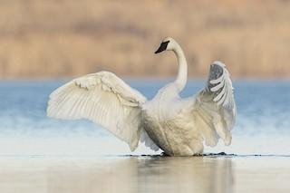 Trumpeter Swan, ML185153731