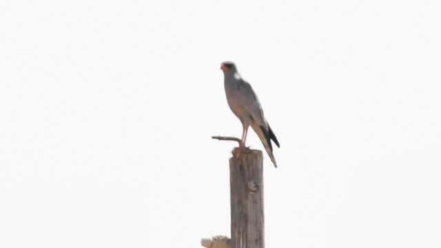 Pale Chanting-Goshawk