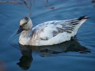 Snow Goose, ML185158351