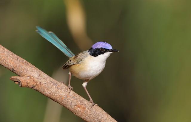 Purple-crowned Fairywren