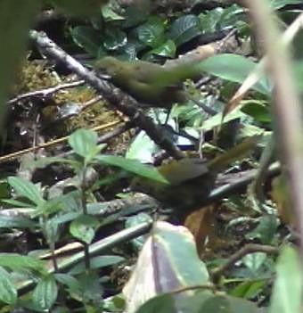 Papuan Whipbird
