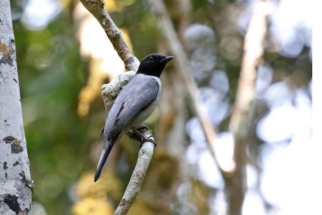 Madagascar Cuckooshrike