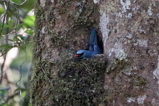 Male Nuthatch-Vanga on nest.