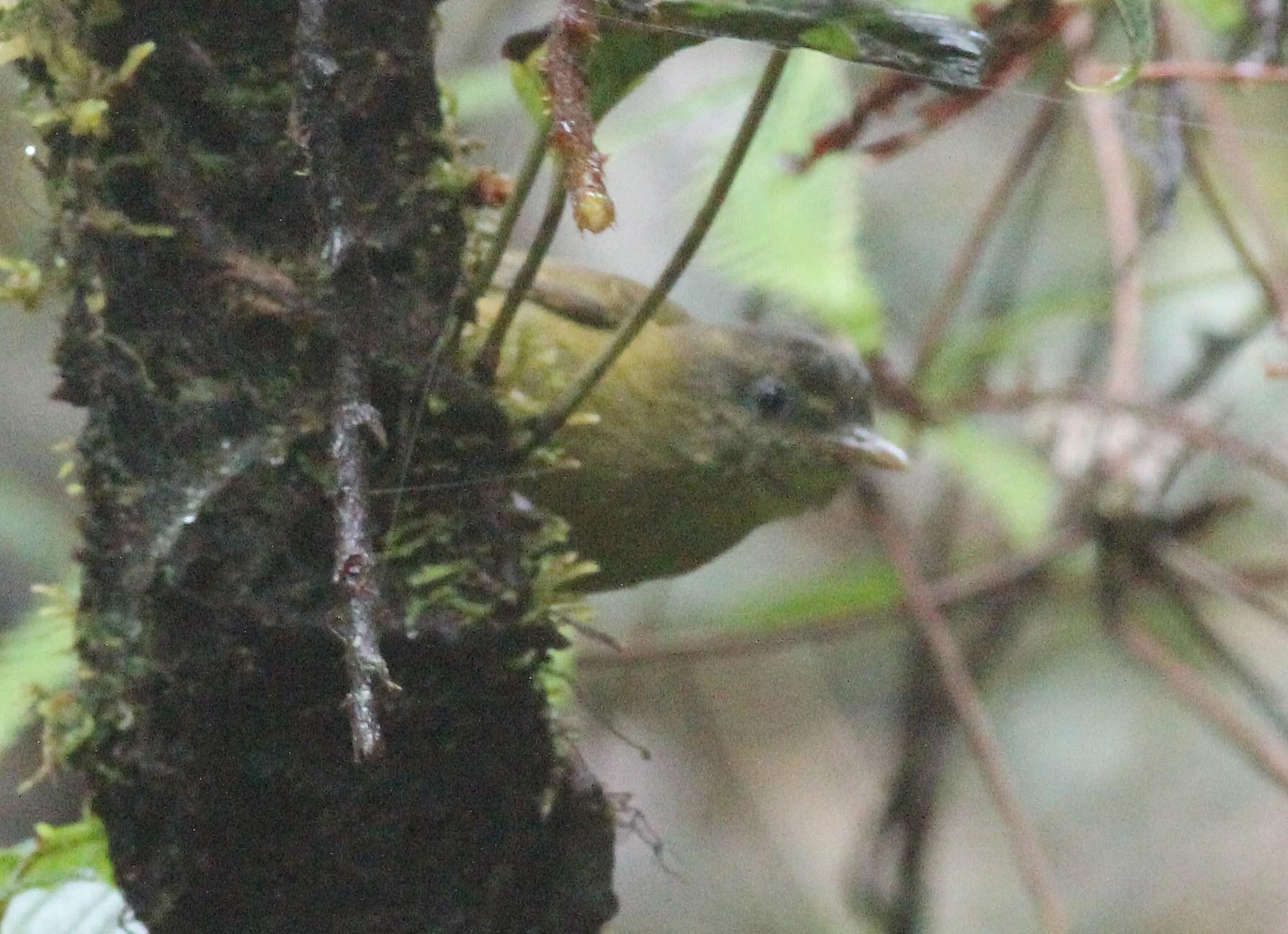 Kolombangara Leaf Warbler - Ashley Banwell