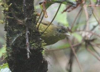 - Kolombangara Leaf Warbler