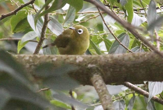 Kolombangara White-eye
