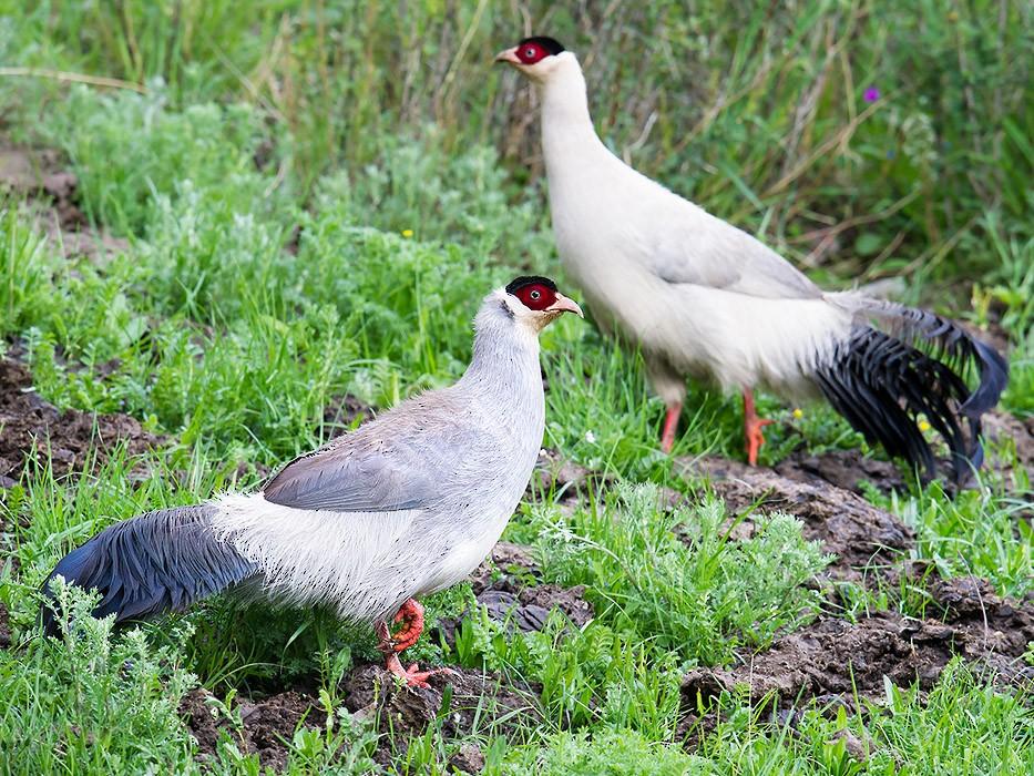 White Eared-Pheasant - Craig Brelsford