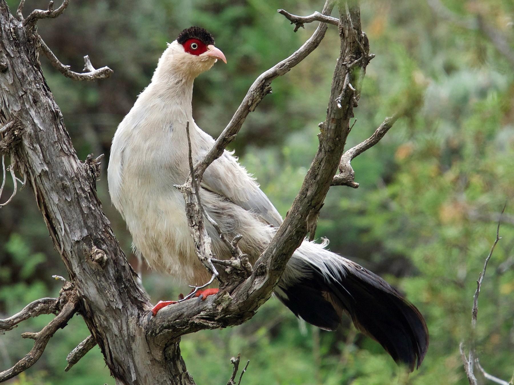 White Eared-Pheasant - Qin Huang