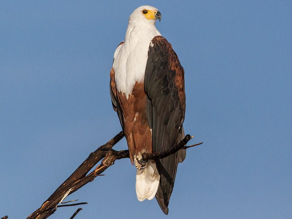 African Fish-Eagle - Cal Gesmundo