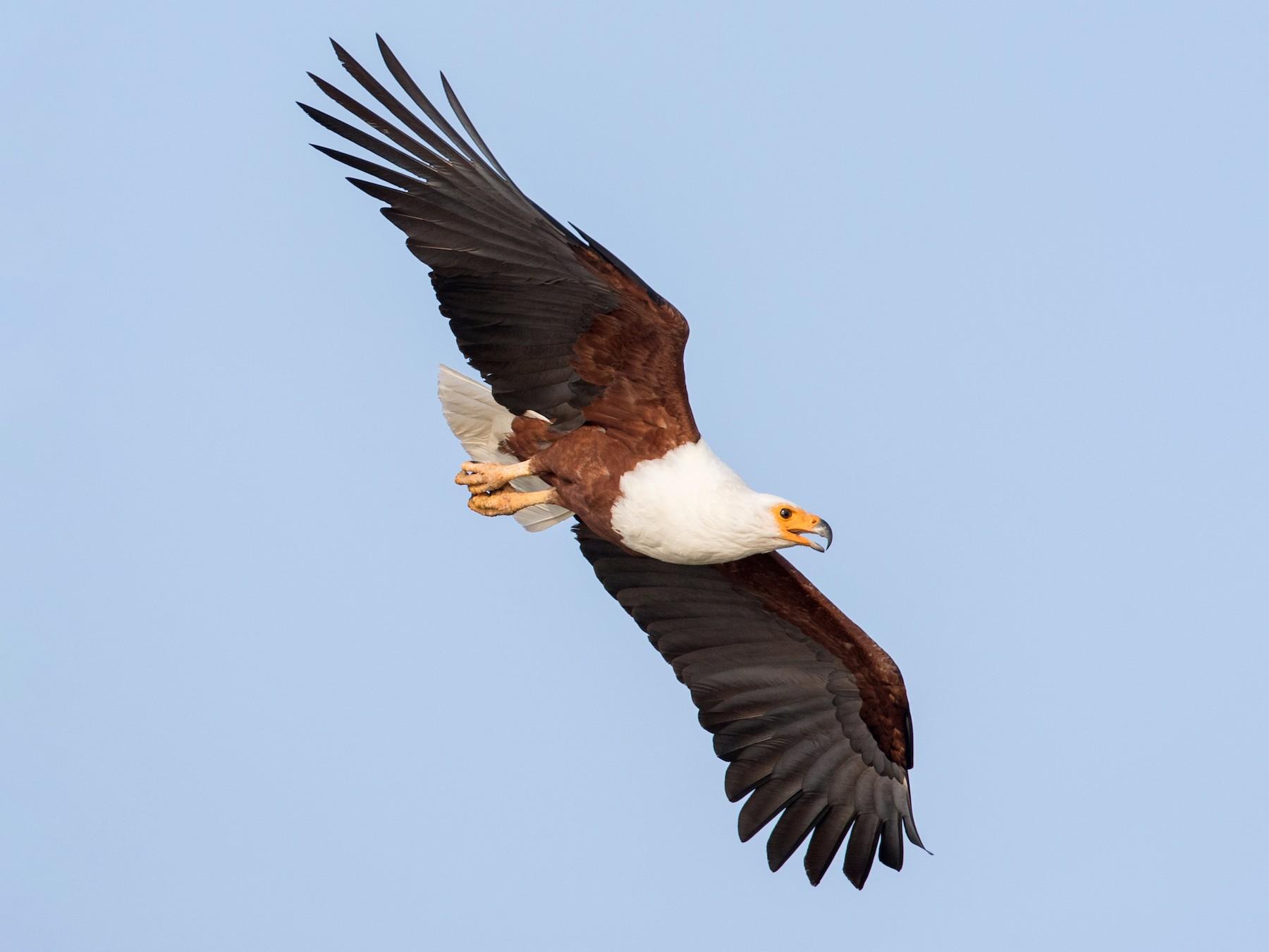 African Fish-Eagle - Ian Davies