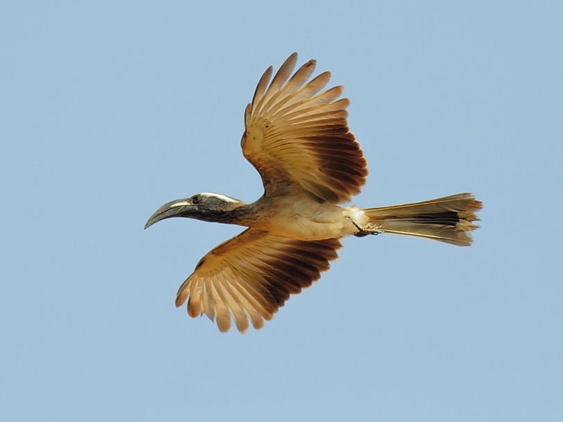 African Gray Hornbill - Alexander Hagge