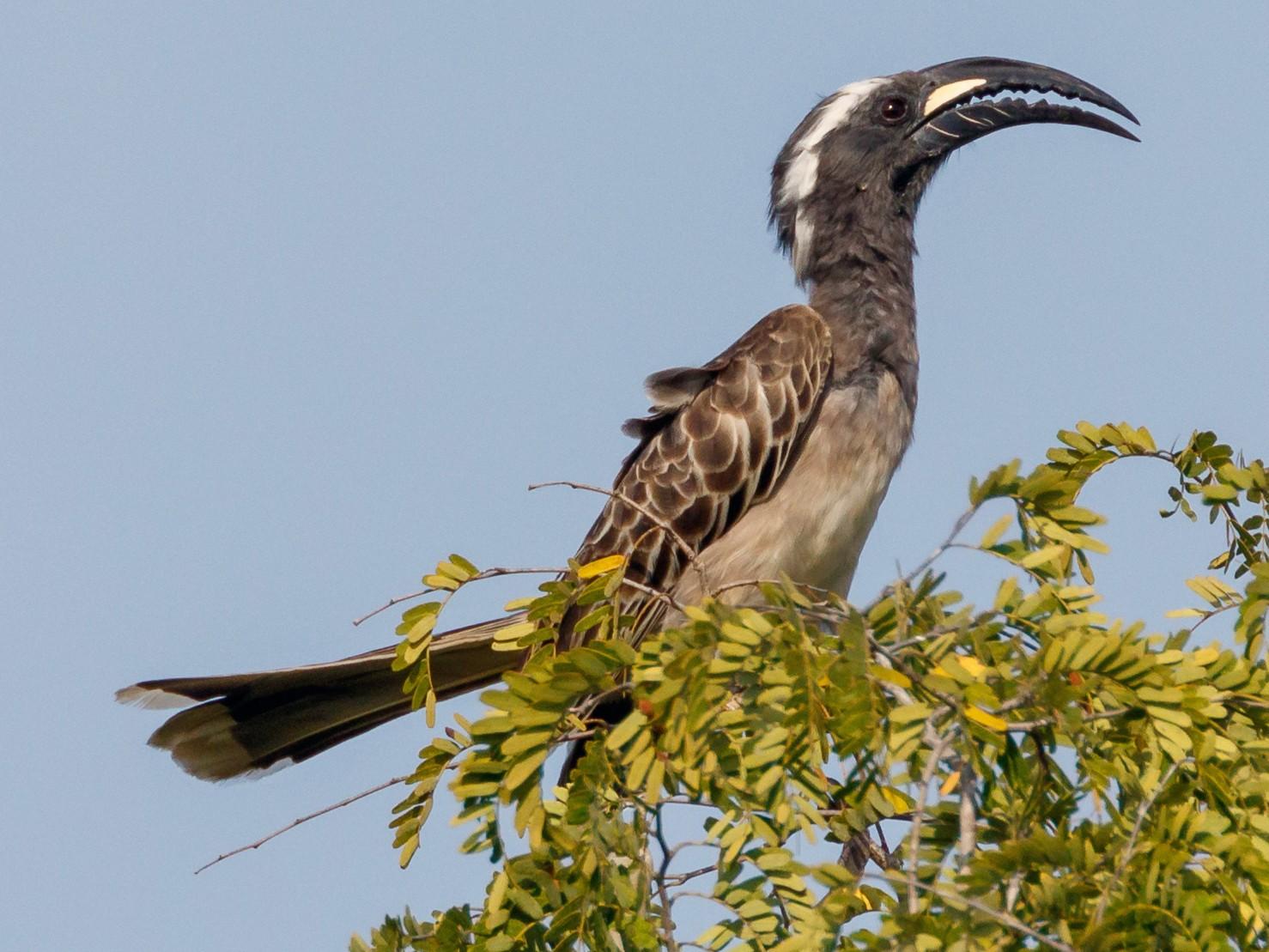 African Gray Hornbill - Christopher Sloan