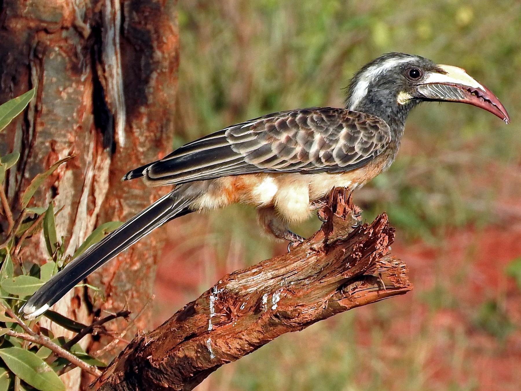 African Gray Hornbill - Todd A.  Watkins