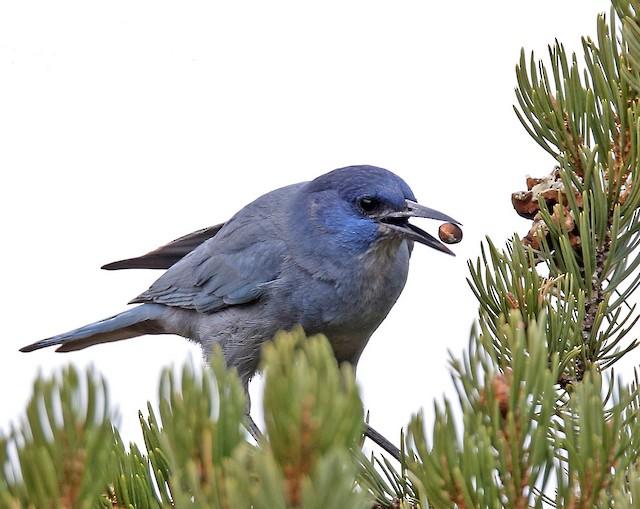 Pinyon Jay foraging.