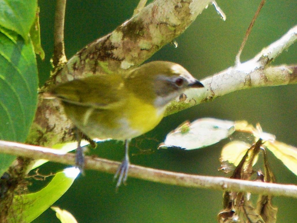 Ashy-throated Chlorospingus - Larry Waddell