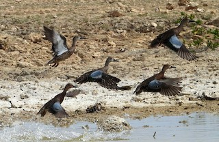 Blue-winged Teal, ML185547951