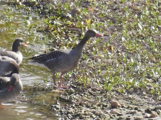 Graylag Goose, ML185749161