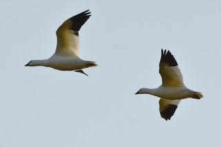 Ross's Goose, ML185753441