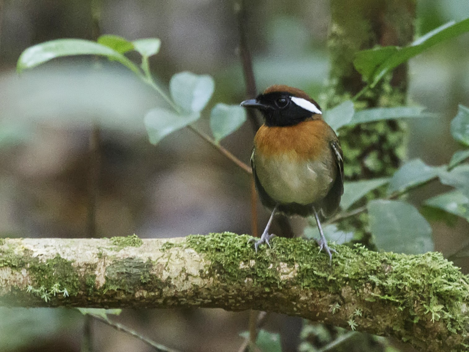 Chestnut-belted Gnateater - Silvia Faustino Linhares