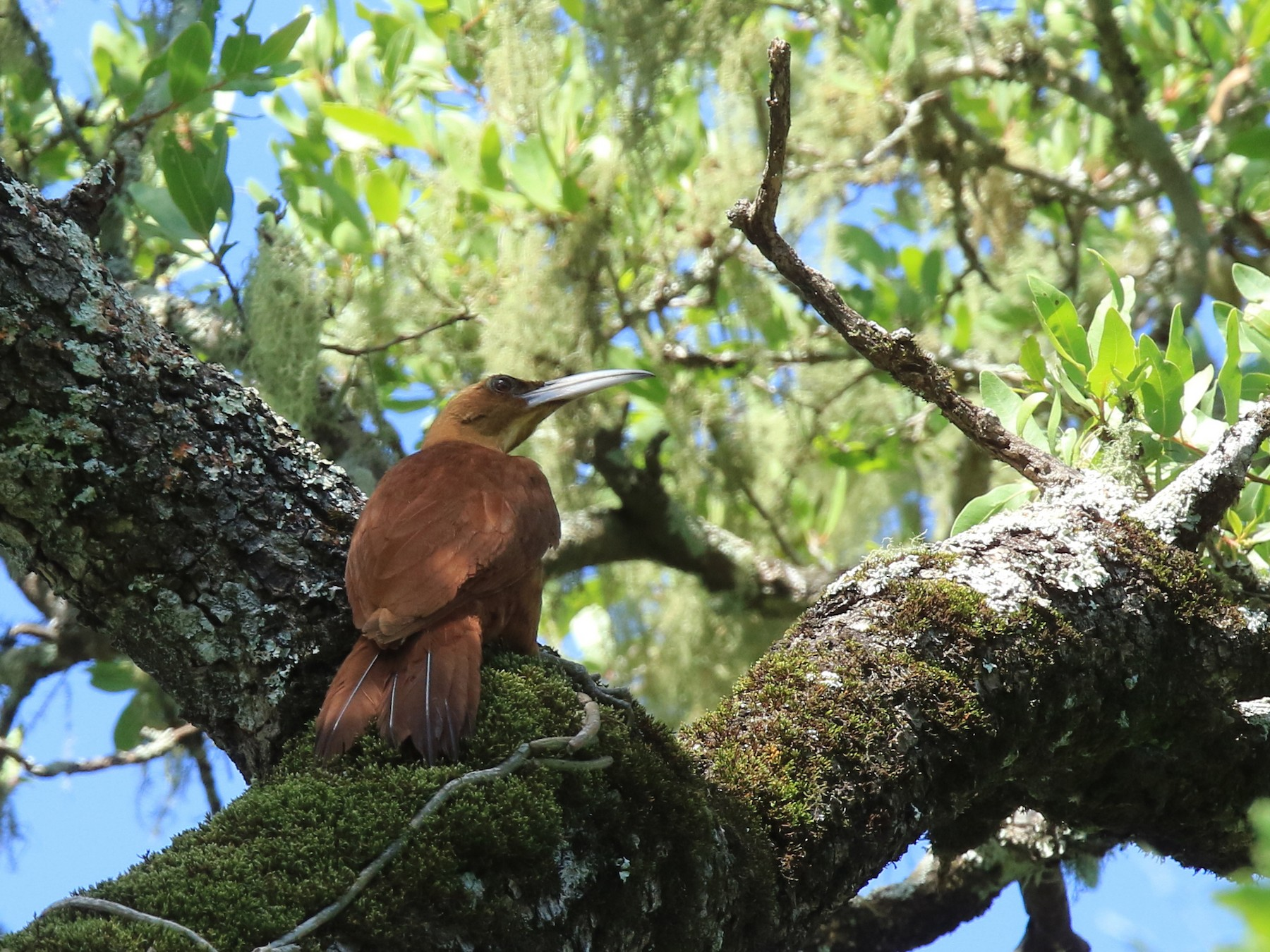Great Rufous Woodcreeper - William Legge