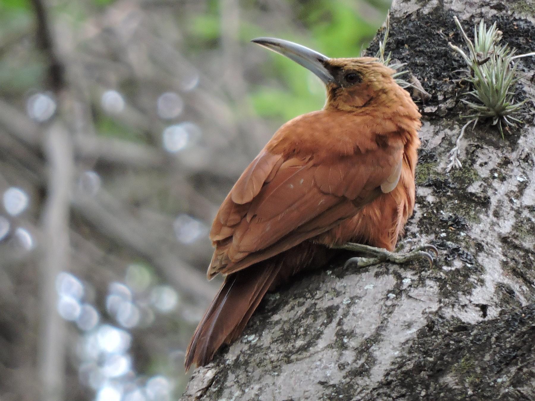 Great Rufous Woodcreeper - Nicolás  Bejarano