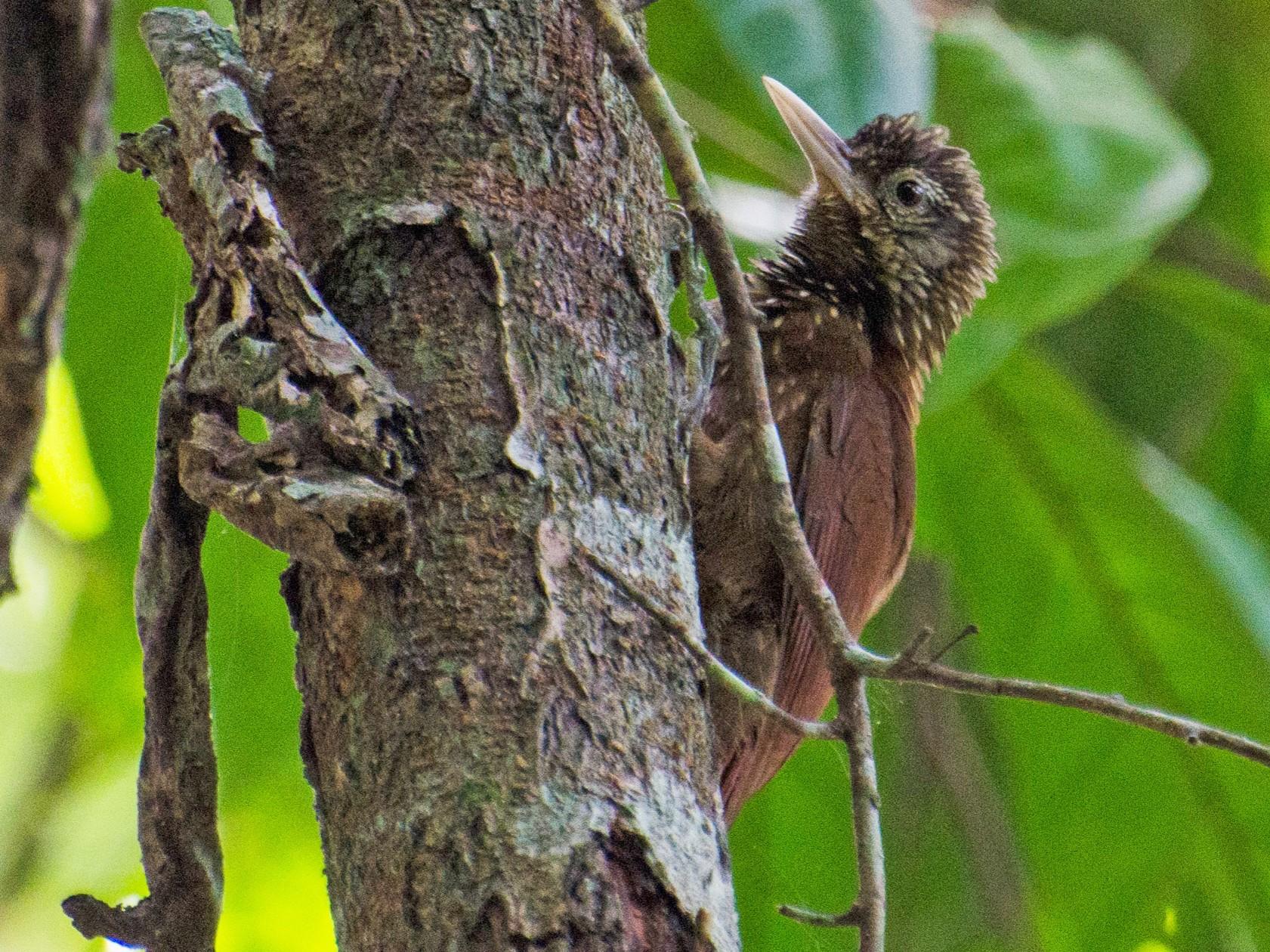 Zimmer's Woodcreeper - Marcos  Eugênio Birding Guide