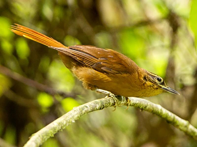 Alagoas Foliage-gleaner - Ciro Albano