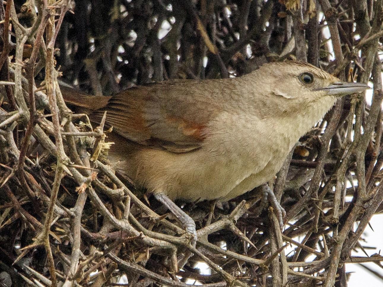 Little Thornbird - Fernando Farias