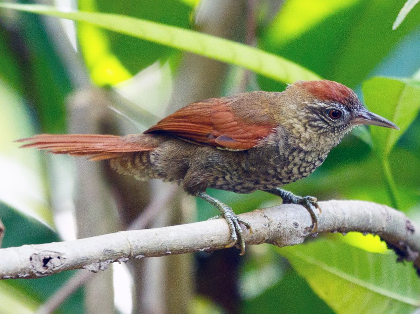 Scaled Spinetail - Silvia Faustino Linhares