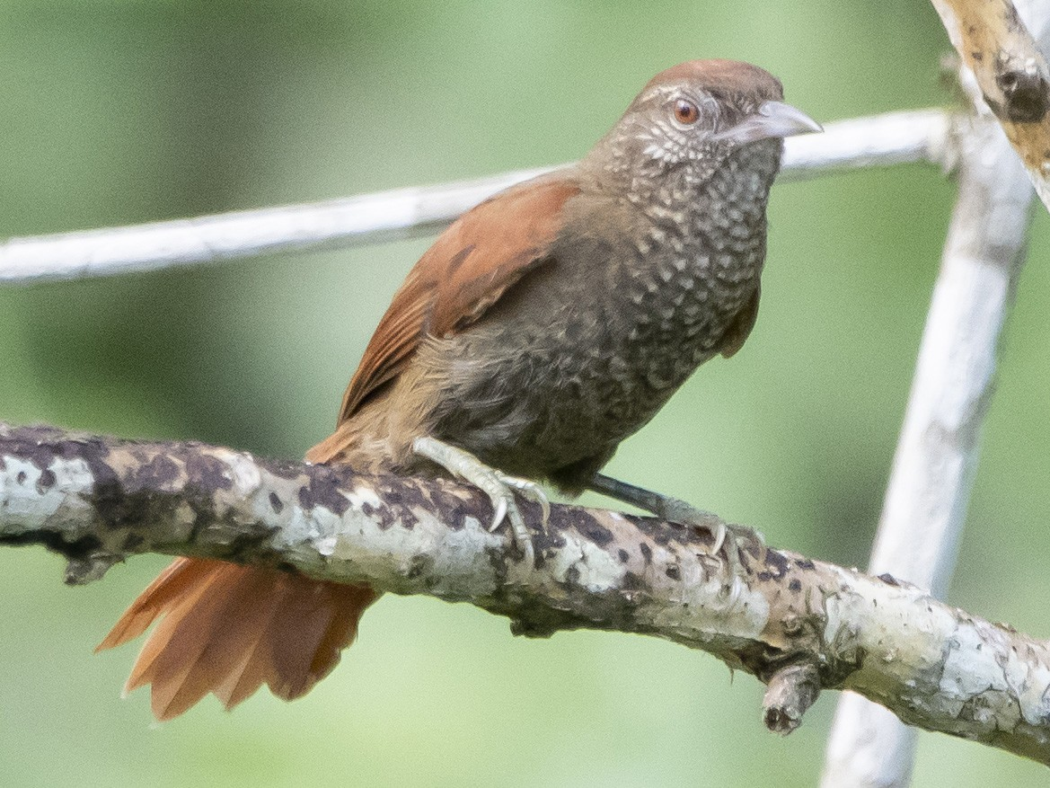 Scaled Spinetail - Carlos Moura