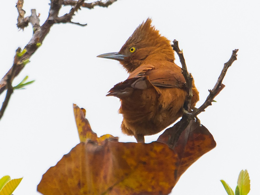 Rufous Cacholote - George Pagos