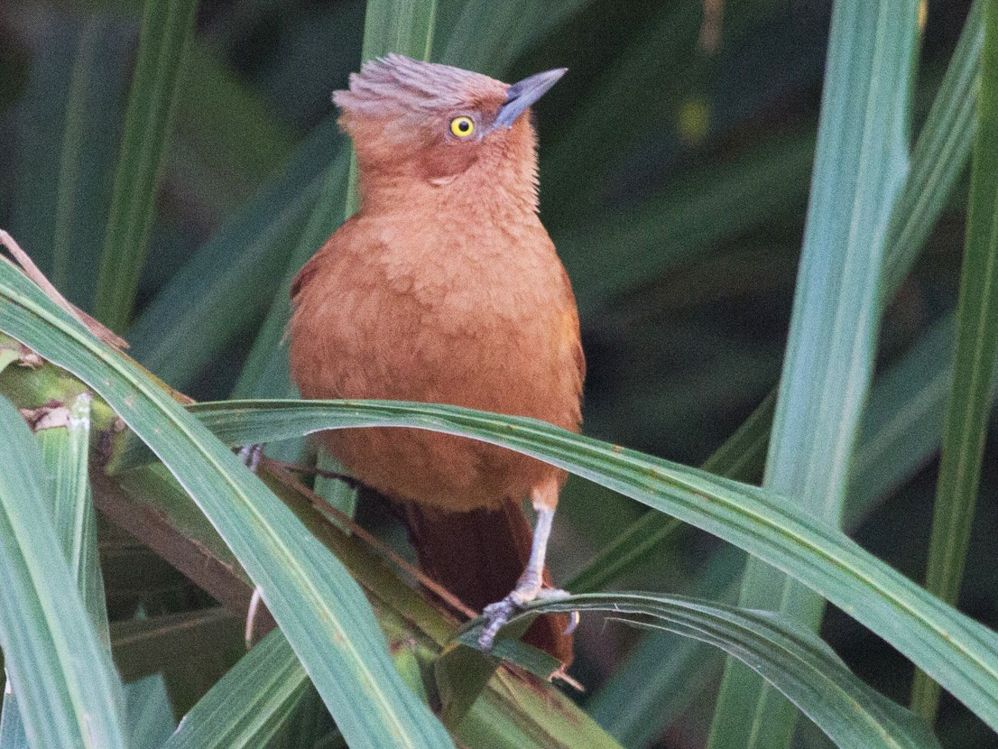 Rufous Cacholote - Lindy Fung