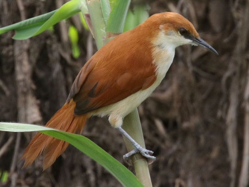 Red-and-white Spinetail - Noah Strycker
