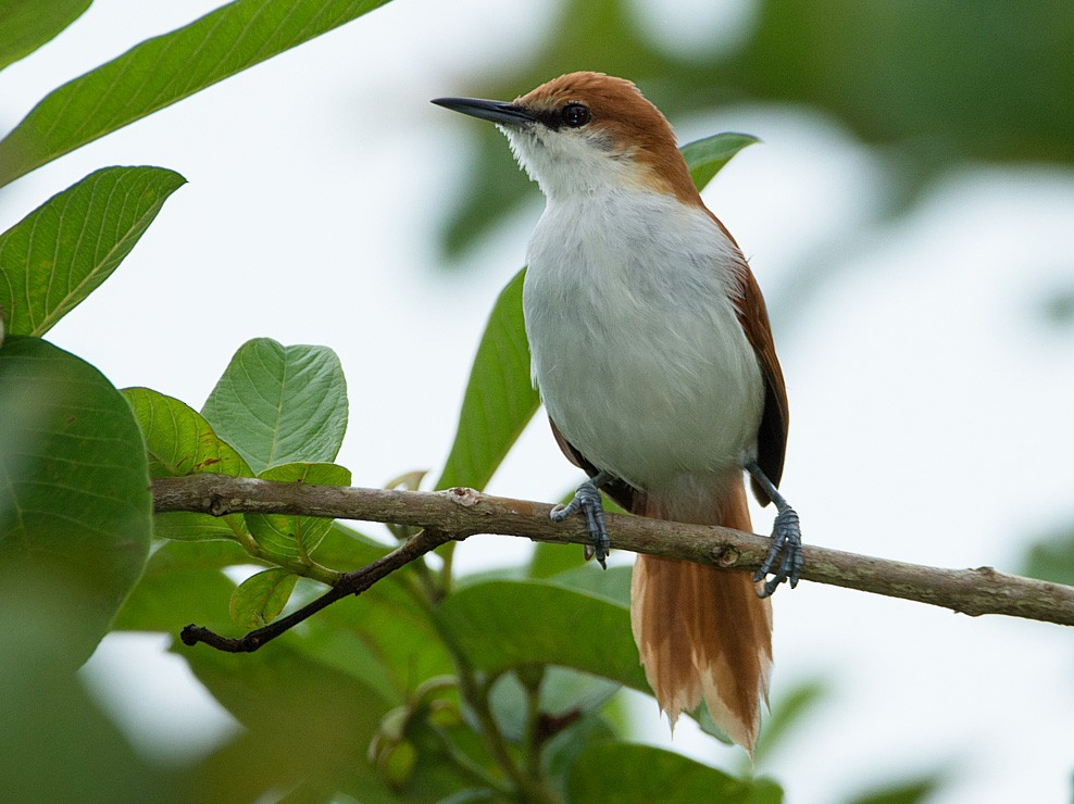 Red-and-white Spinetail - LUCIANO BERNARDES