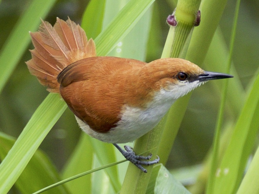 Red-and-white Spinetail - Nicole Desnoyers