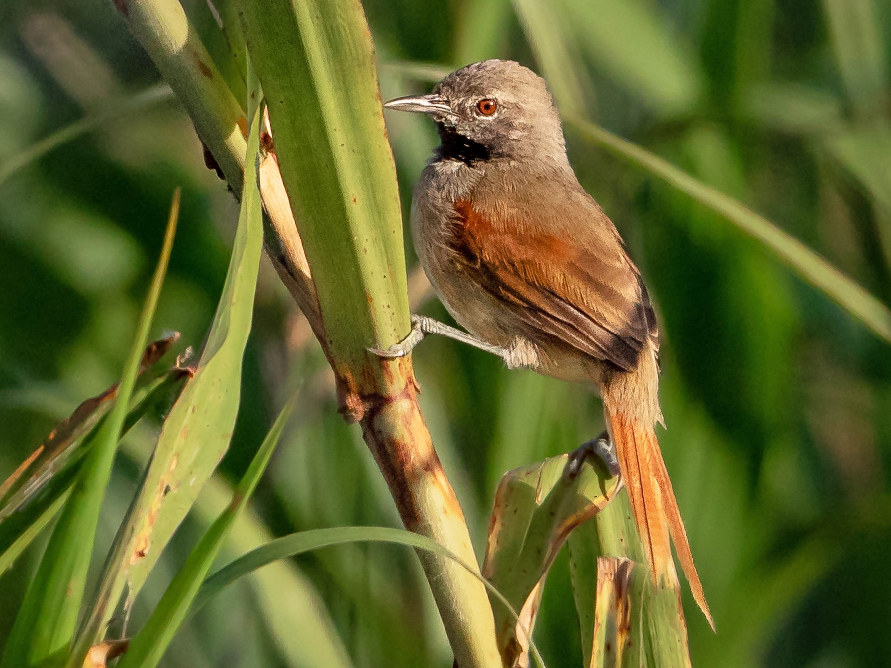 White-bellied Spinetail - Héctor Bottai