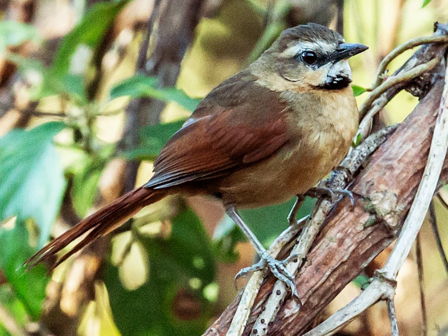 Ochre-cheeked Spinetail - Nick Athanas