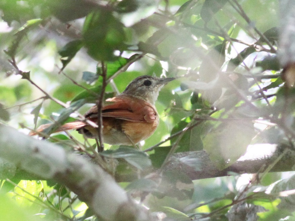 White-lored Spinetail - Michael Todd