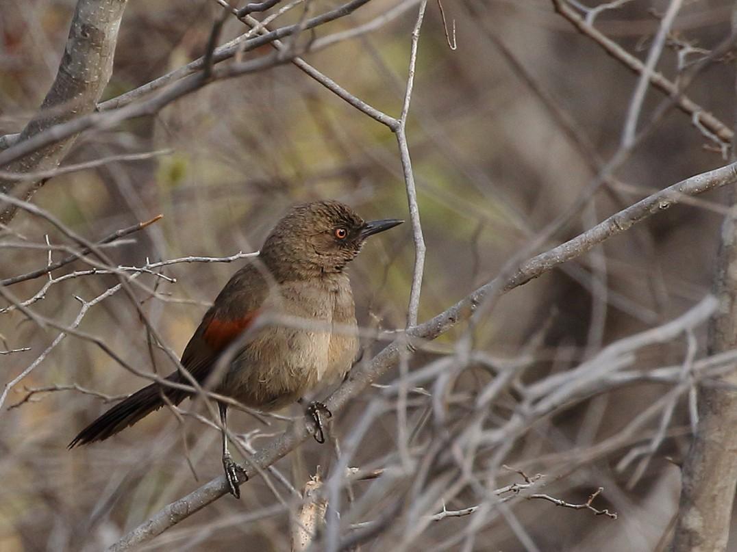 Red-shouldered Spinetail - Gilvan Santos