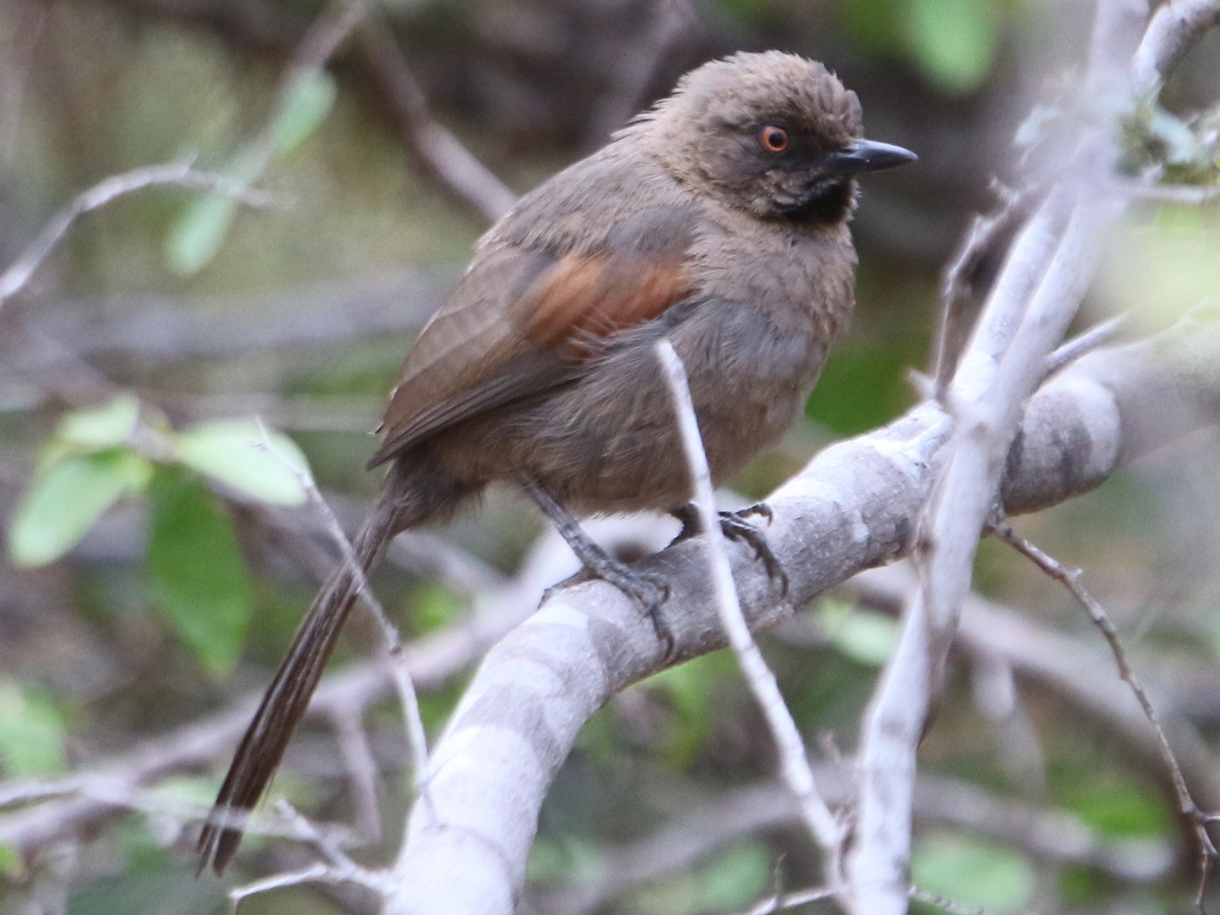Red-shouldered Spinetail - Thompson Ian