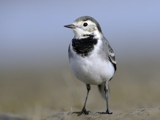 - White Wagtail