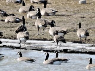 Cackling Goose, ML186013111