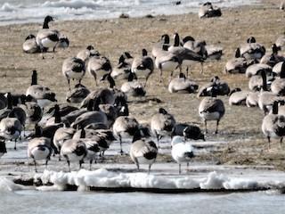 Snow Goose, ML186013191