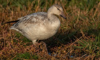 Snow Goose, ML186053111