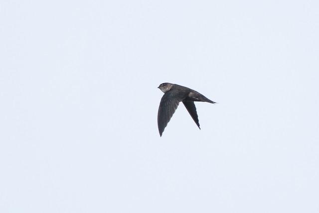 Philippine Swiftlet
