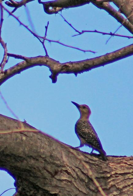 Hoffmann's Woodpecker