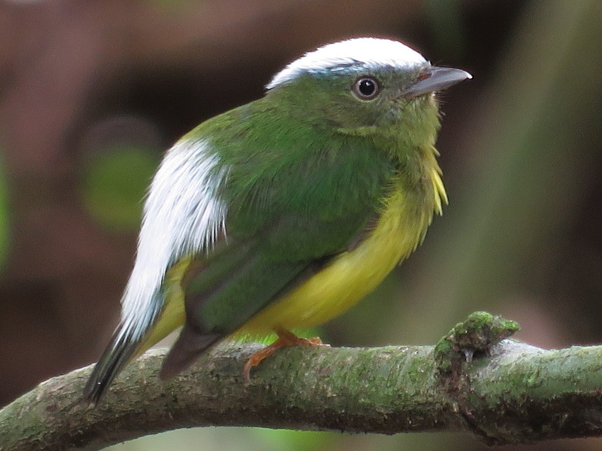 Snow-capped Manakin - Rich Hoyer