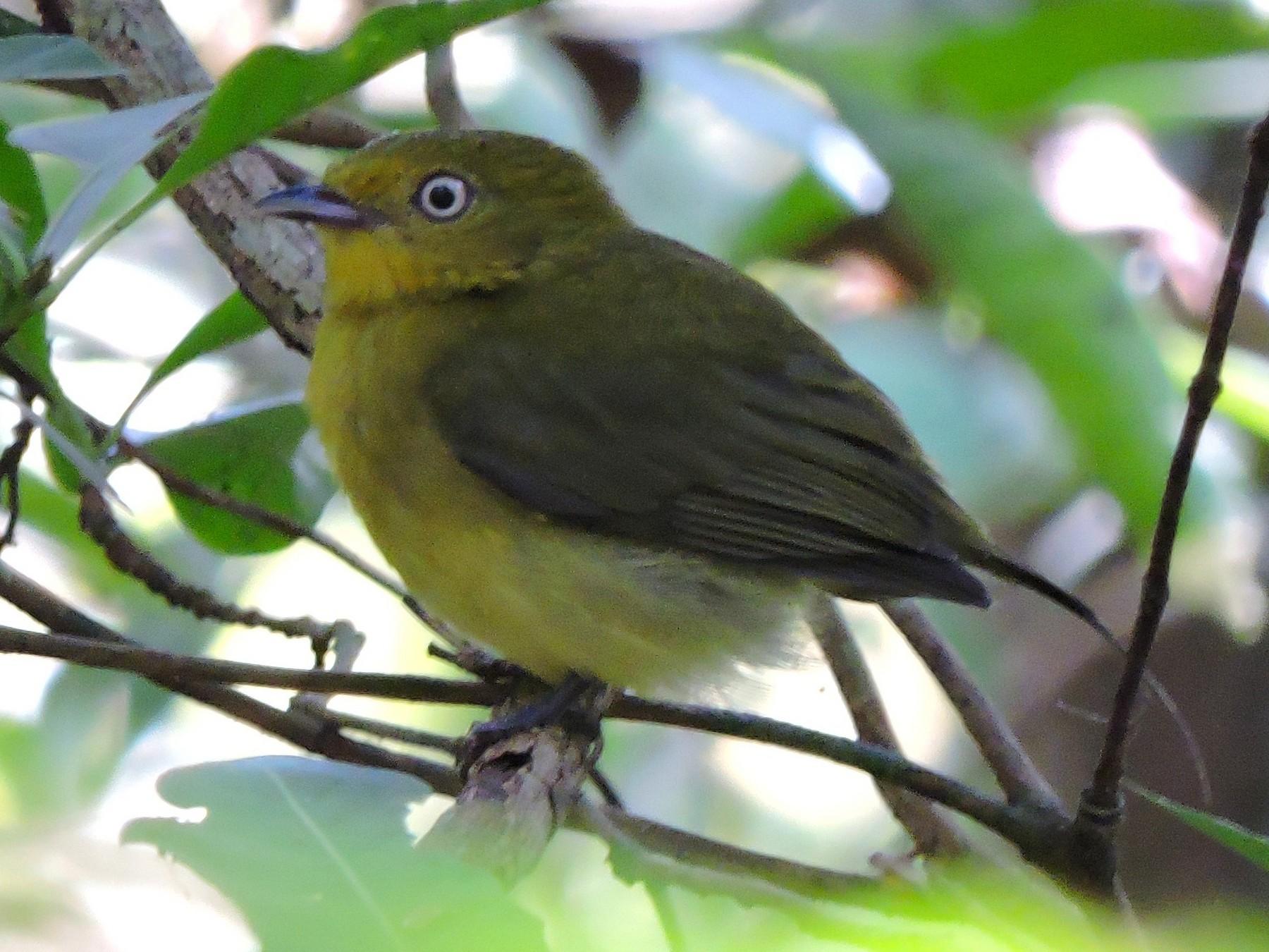 Wire-tailed Manakin - Edwin Munera