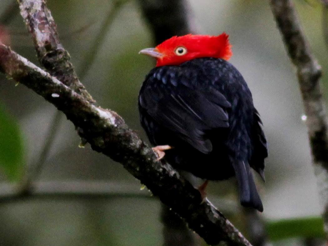 Scarlet-horned Manakin - Jay McGowan