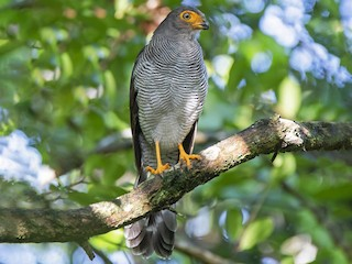 - Barred Forest-Falcon
